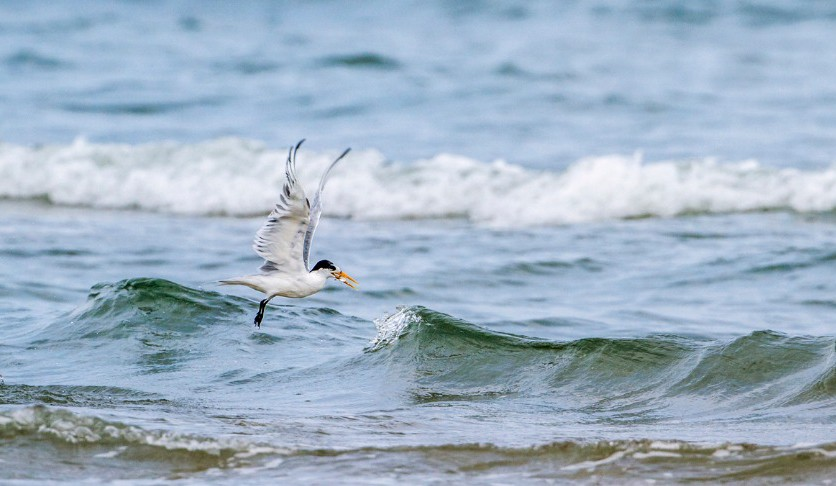 Publix and Audubon Florida, Protecting the Least Tern