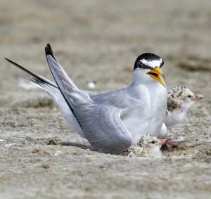 Least Tern (Sterna antillarum) near the nest