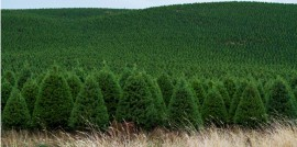 Christmas Tree Field