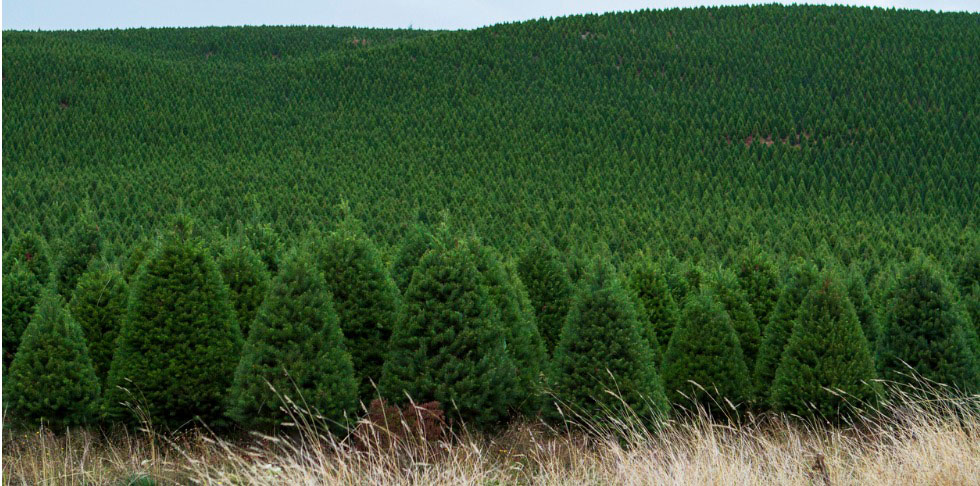 A Christmas Tree's Journey Through the Holidays