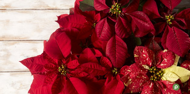 01_MB_Poinsettias_FeaturedImage