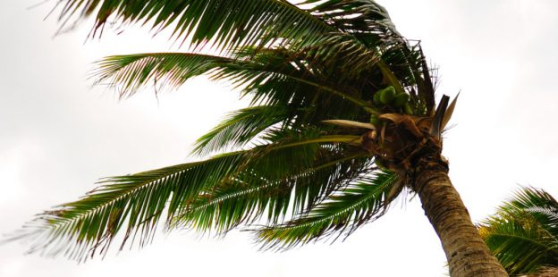 Palm tree blowing viciously in wind with gray storm clouds behind tree leaves.